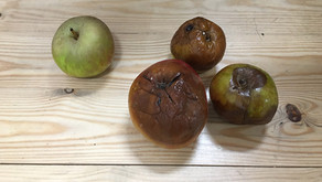 Microproxecto: Por que caen as mazás das árbores? /¿por qué caen las manzanas de los árboles?