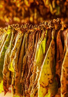Cuba (cigar leaf) Photography