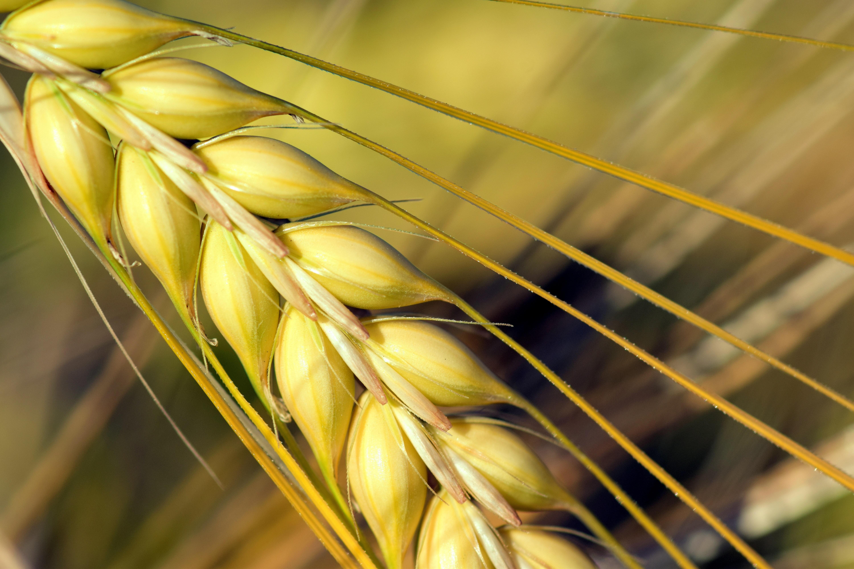 agriculture-barley-barley-field-533346