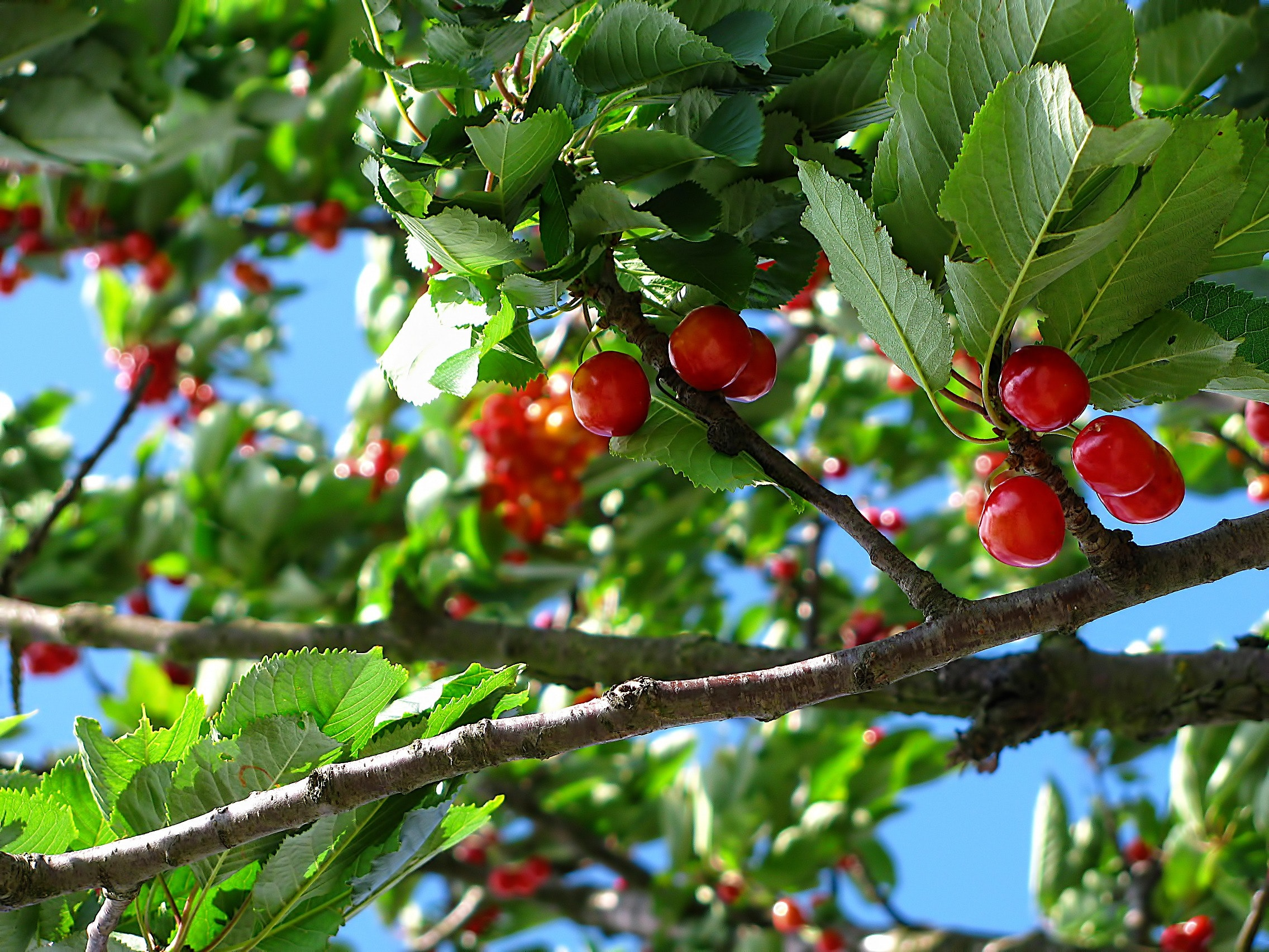 branches-cherries-close-up-63312