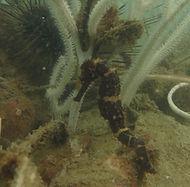 seahorse at langkawi scuba