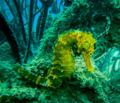 seahorse in langkawi