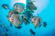 Batfish Tom.jpg