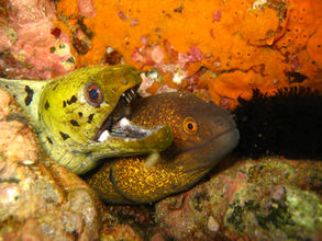moray eels in langkawi