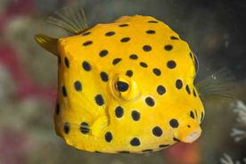 boxfish in langkawi