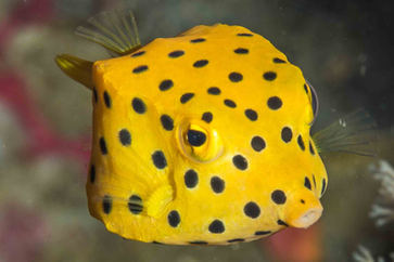 boxfish in langkawi