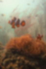 clownfish at langkawi scuba