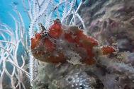 frogfish marinelife langkawi scuba