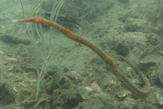 pipefish at langkawi