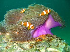 clownfish in langkawi