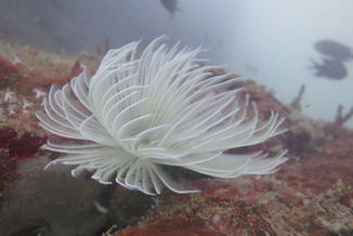 tubeworm in langkawi
