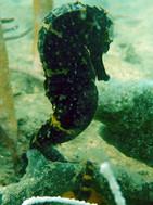 seahorse posing black.jpg