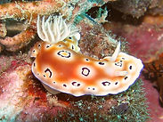 Chromodoris xxx_03.jpg