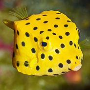 boxfish Tom-2 (1).jpg