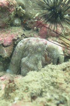 octopus at langkawi