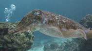 cuttlefish4.jpg