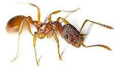thief_ants.jpg
