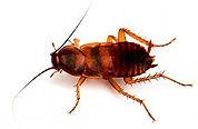 brown banded cockroach.jpg