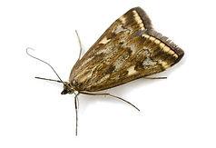 indian meal moth.jpg