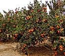 arbolito-de-mandarina-murcott-D_NQ_NP_60
