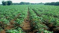 Plantação de mandioca.jpg