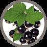 fruit_black_current_leaf.png