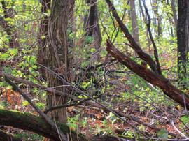 Ondo Dondo Woods 1