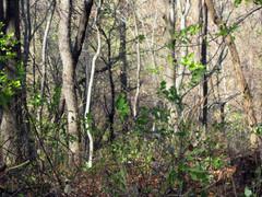 Ondo Dondo Woods 2