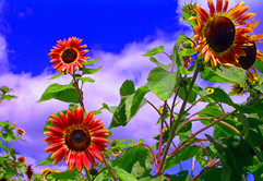 Volunteer Sunflowers in the Raspberry Patch