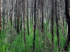 Cow Creek Burnt Trees