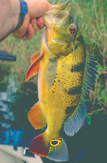 Butterfly Peacock Bass.jpg
