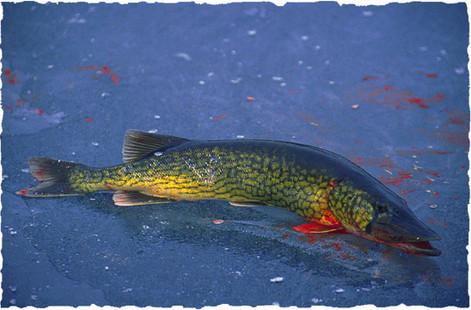 Pickerel on Ice