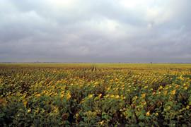 North Dakota Sunflowers