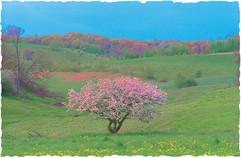 Apple Tree at the Ondo Dondo Farm