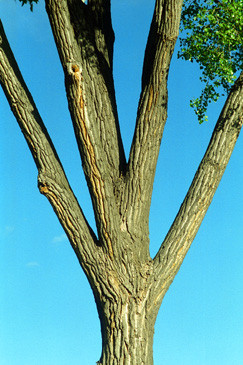 Forked Tree