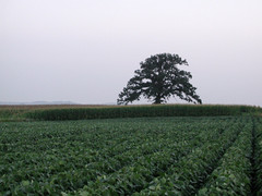 Oak Tree by Highway 12
