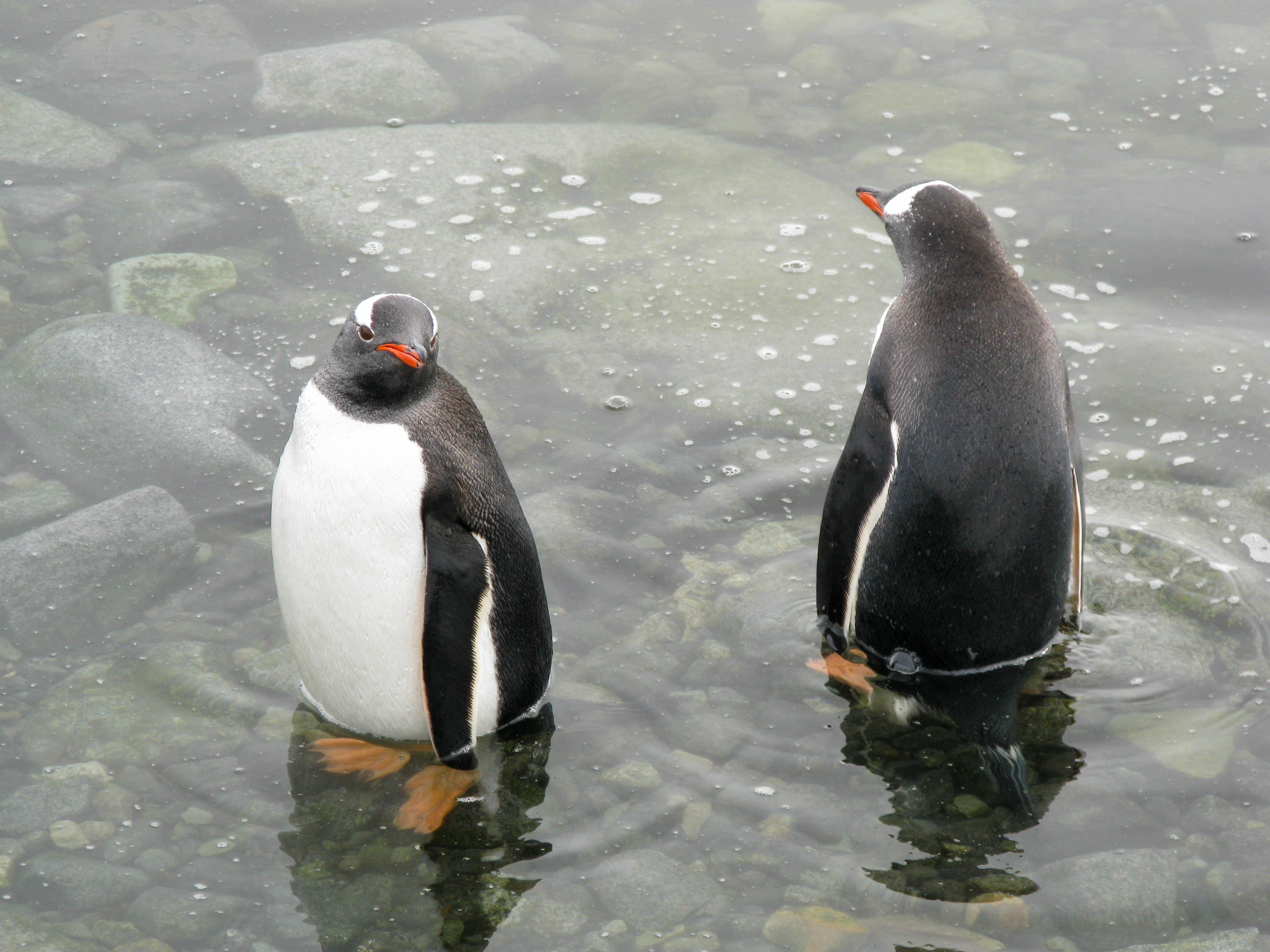 Paddling Gentoos, Antarctic Peninsula