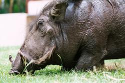 Warthog, Chobe, Botswana
