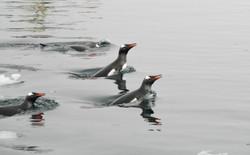 Porpoising Gentoos, Neko Harbour,Antacrtica