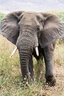 Elephant on guard, Ngorogoro Crater, Tan
