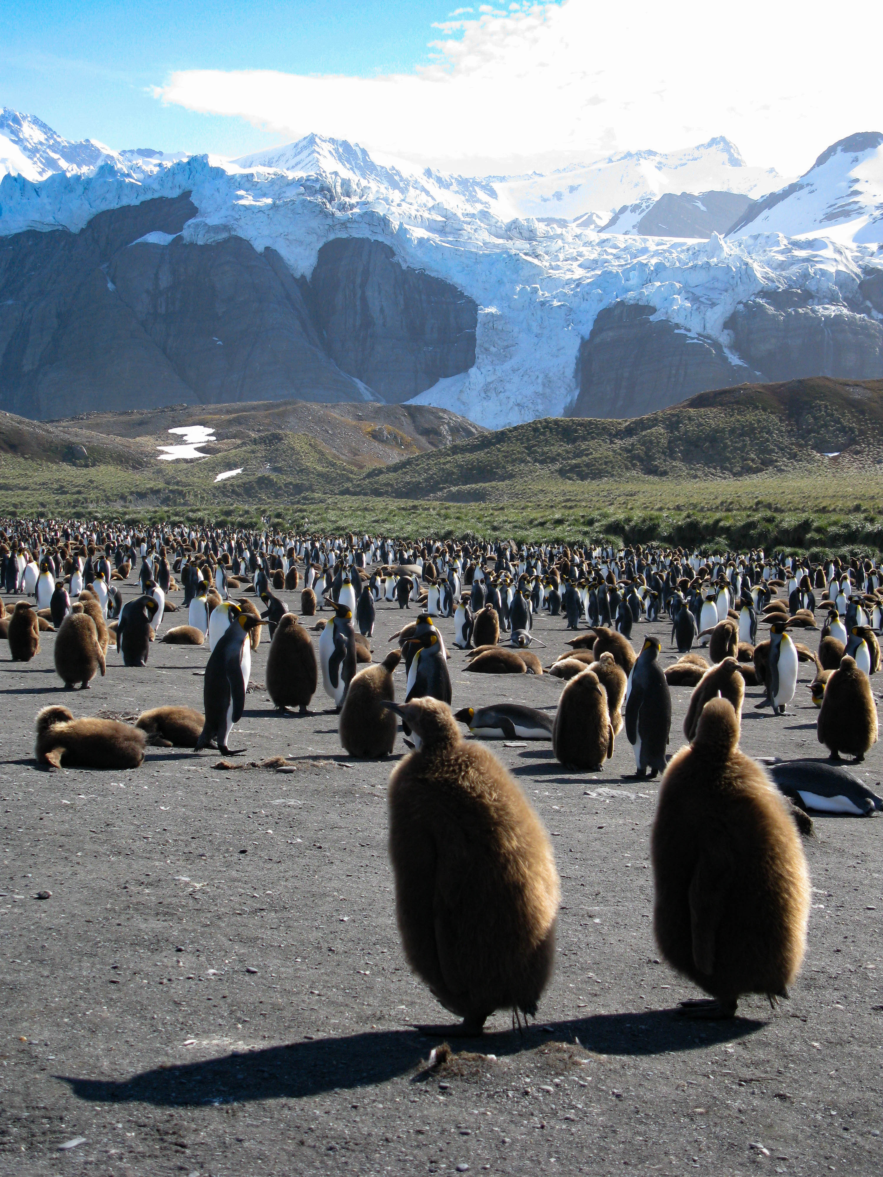 Gold Harbour King Penguin colony, South Georgia