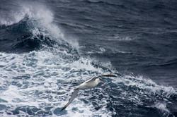 Wandering Albatross, Southern Ocean