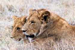 Young lions, Ngorogoro Crater, Tanzania