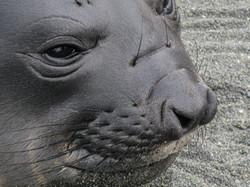 Elephant Seal female