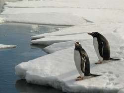 Gentoo Penguins, Deception Island