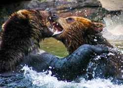 Grizzlies play fight
