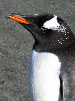 Gentoo Penguin, South Georgia