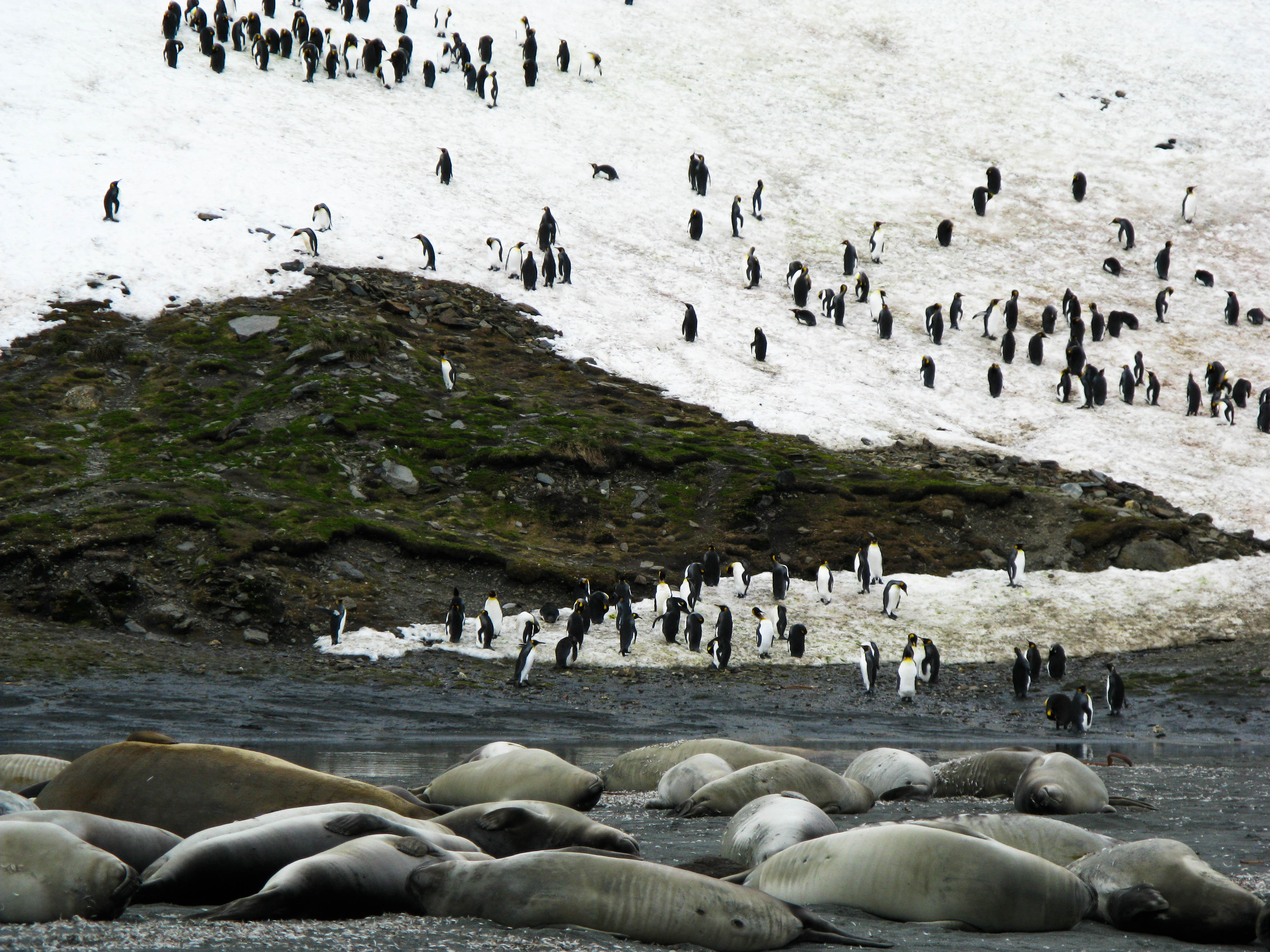 King Penguin colony, Saint Andrew's Bay, South Georgia