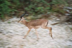 Black Faced Impala, Namibia