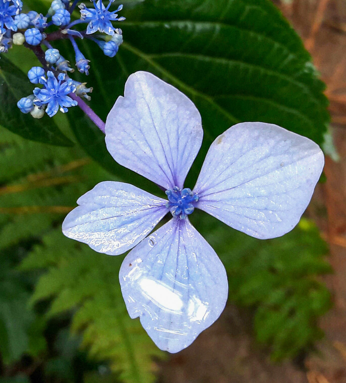 Blue flower, Basque Country